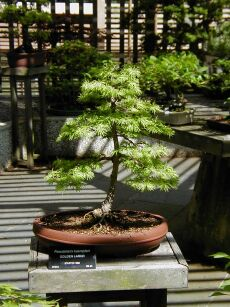 Image of a golden larch bonsai, Arnold Arboretum, Boston, Massachusetts